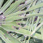 Palmes perforées