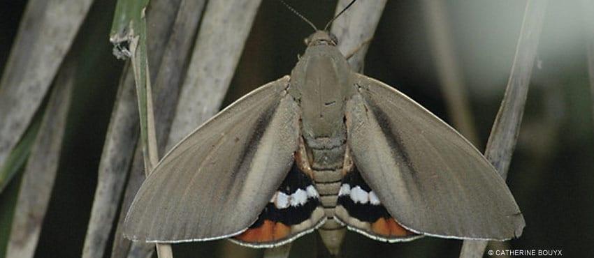 papillon-argentin