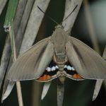 Papillon palmivore argentin